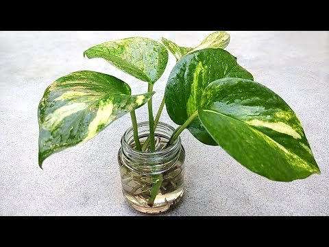 Grow money plant from single leaf , Grow indoor