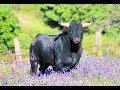 ¿Necesitas saber que significa soñar con toros? - YouTube