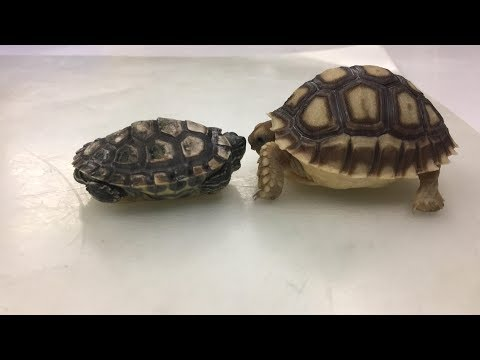 Turtle VS Tortoise || Land Turtle Meets Sea Turtle || Nicholas Meets Blastoise | Ep 1