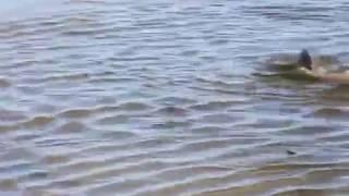 Нерест сазана в Куршском заливе. Завораживает, прямо у берега, вода кипит!