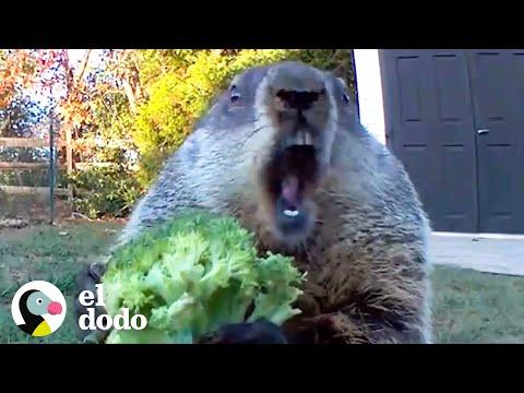 marmota-hambrienta-entra-al-jardín-buscando-bocadillos- -el-dodo