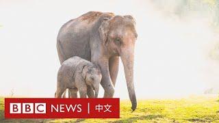 肺炎疫情:離開家鄉20多年的泰國大象因「失業」踏上返鄉路- BBC News 中文