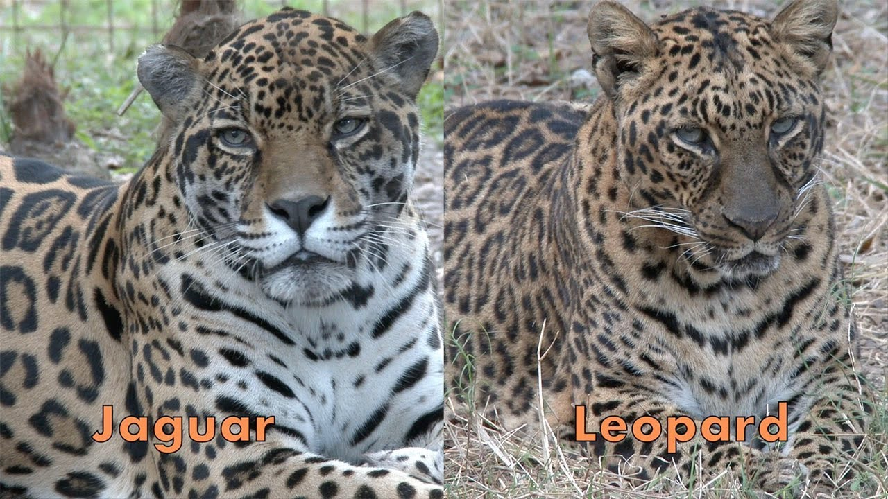 Jaguar Vs Leopard Faq Friday