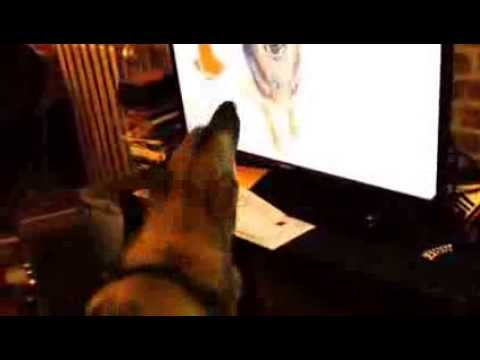 Confused german shepherd dog watches and barks at YouTube ...