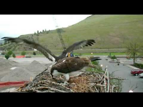 Hellgate ospreys Iris and Stanley June 1st 2015 Stan flys in and feeds Iris a long time