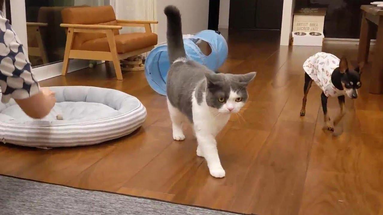 姉猫がボールを持って来て遊びをねだる姿が可愛すぎた 301話