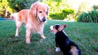 Corgi Puppy Vs Golden Retriever - Life After College: Ep. 333