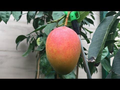 Mango 'Sensation' Mellow