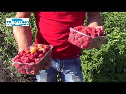 Урожай малины в
