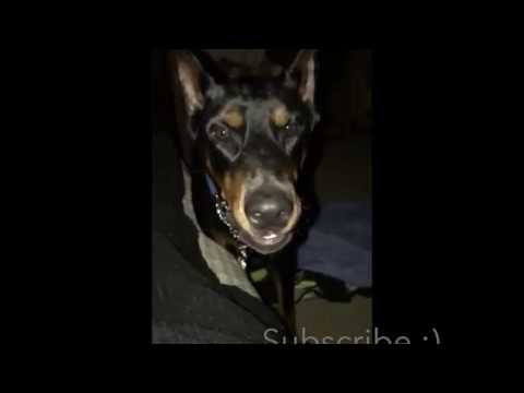 Doberman Cant Get Enough Attention - 12 In The Morning
