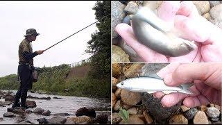 夏の鮎を釣る!!柳瀬川で鮎ルアー、お酒は俺の出番でしょっ thumbnail