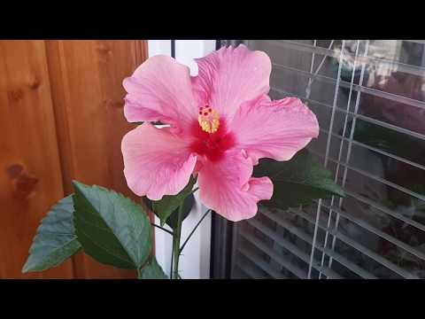 Гибискус: цветут домашние гибискусы. Видео-хваст о моих цветах☺️