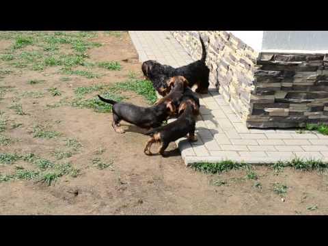 "Wire standard dachshund puppies ""Iz Novo-Peredelkino"""