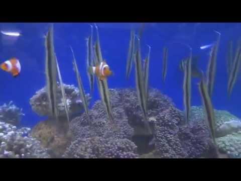 へコアユとウミウシ!熱帯魚店の水槽☆Aeoliscus strigatus