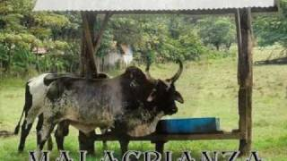 los mejores toros de monta de todo guanacaste