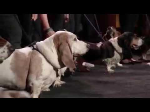 DaphneyLand Basset Hound Rescue | Home