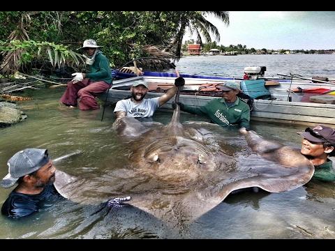 Monster Giant Freshwater Stingray Record 530 Lbs - HD By Yuri Grisendi