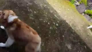 シェルティ 子犬 4ヶ月 初めての外 シェットランドシープドッグ Shetla...