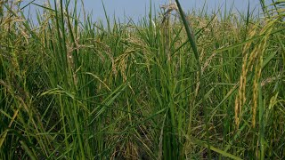 Sliding shot of dry husked seeds of organic rice plants in India during daytime