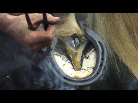 Shoeing a Draft Horse - Tips and Techniques Part 4 (Rear Hoof Shoeing)