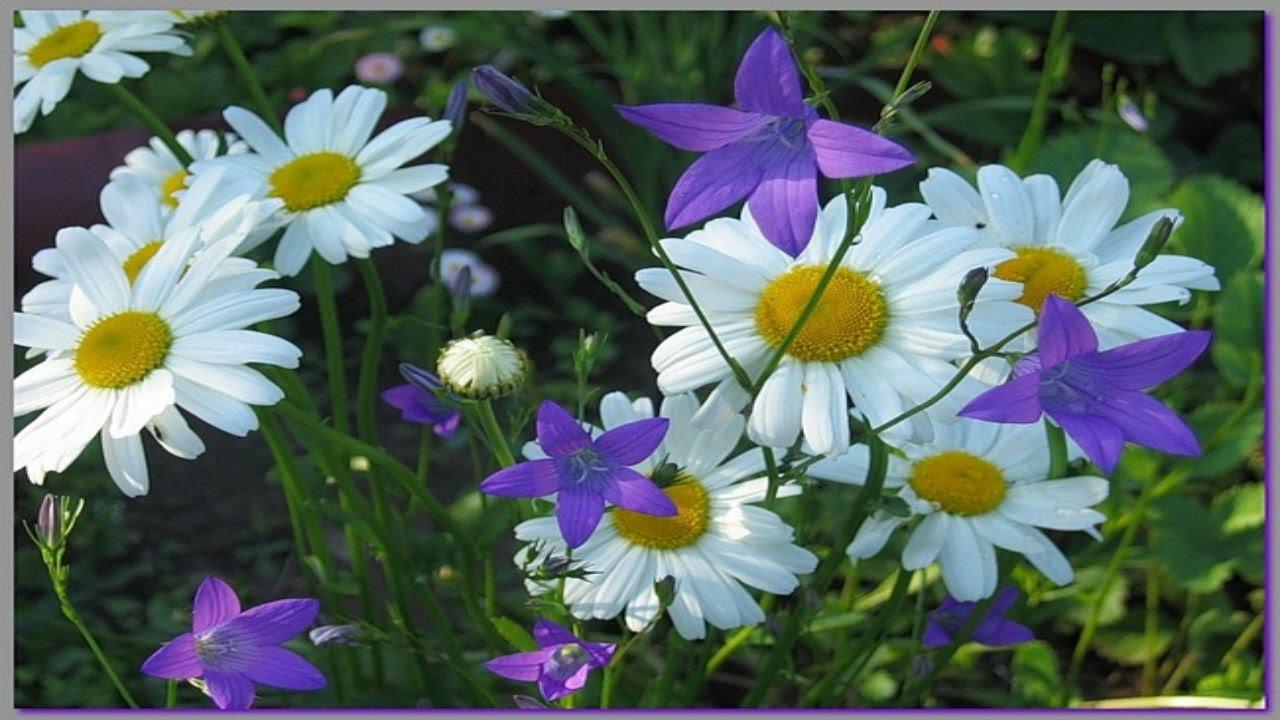 Полевые цветы стих
