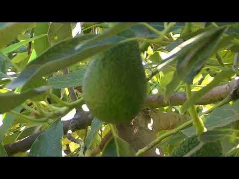 Frutos de aguacate: Persea americana (www.riomoros.com)