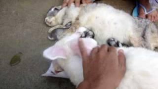 Repeat youtube video feeding baby rabbits