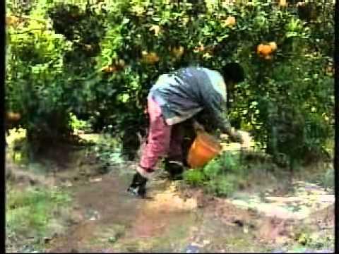 Lutte culturale contre la mineuse des agrumes en tunisie youtube - La mineuse des agrumes ...