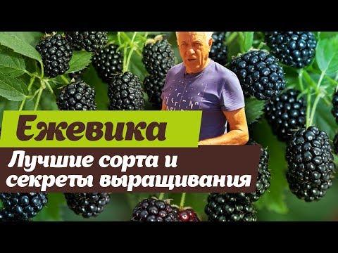 Ежевика.  Сорта и агротехника