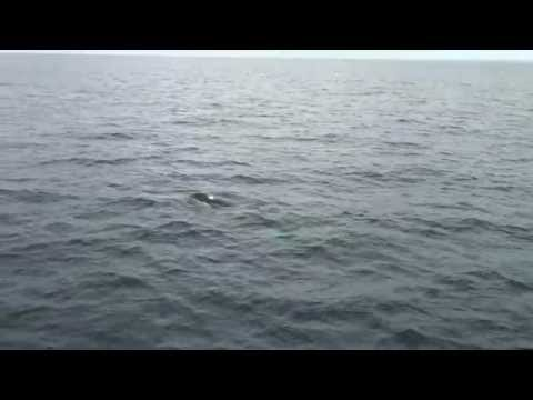 Killer Whale Charges Boat Newport Beach CA
