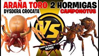 ARAÑA TORO VS DOS HORMIGAS CAMPONOTUS - COMENTADO