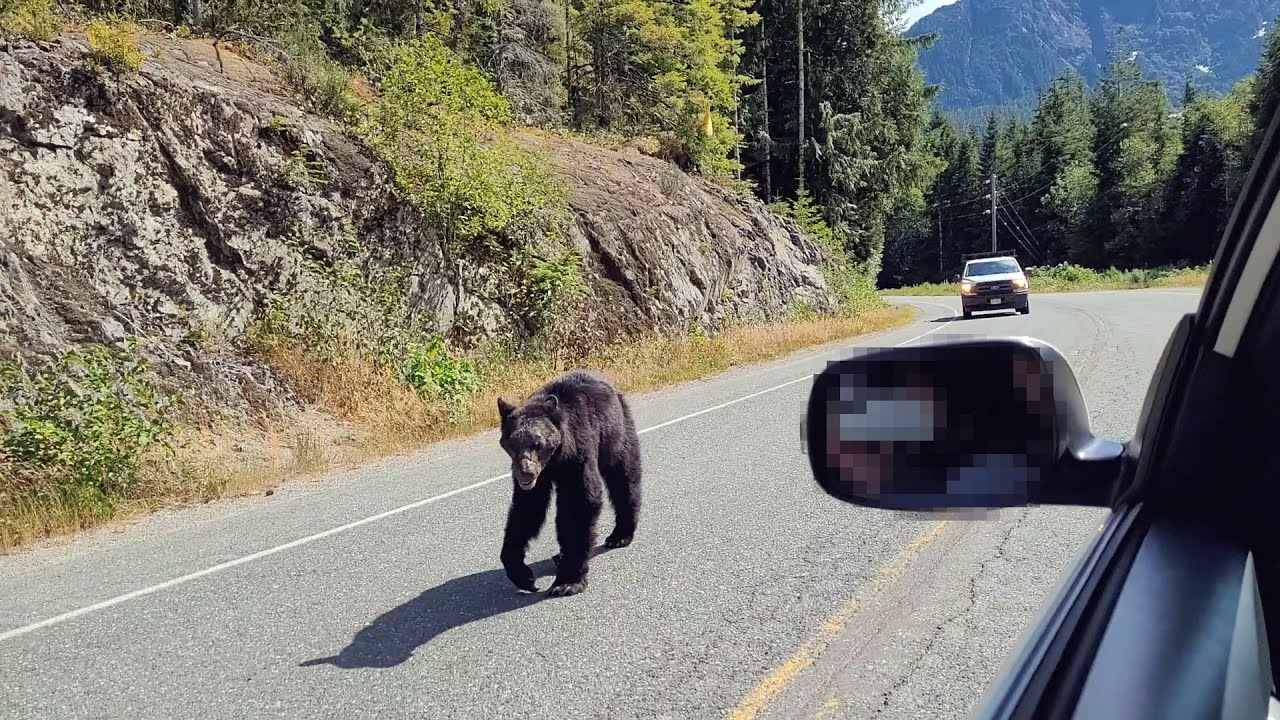 Shabby Bear Walks Past Our Scion TC In The Middle Of The Road On Vancouver Island.
