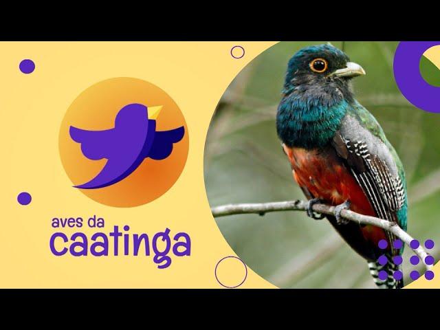 AVES DA CAATINGA #03 - Dorminhoco
