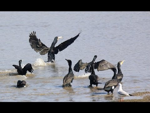 Group fishing by large cormorants back water of Wardha Dam
