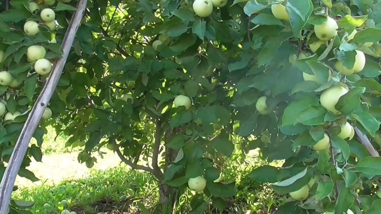 Яблоня Белый налив с яблоками. - YouTube