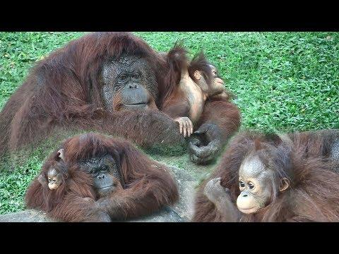 Mother & Baby Orangutan at the Dehiwala zoo ( Sri Lanka)
