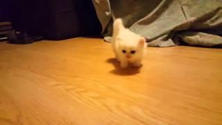 Munchkin Persian Kittens