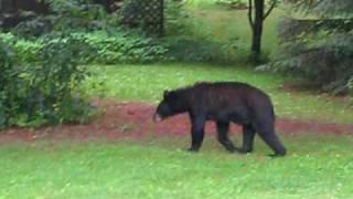 baby bear eating my grandma's garbage