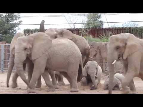 Cyndi & Chris - Reid Park Zoo's Semba is Pregnant Again-Check it Out!