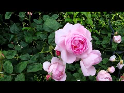 David Austin English Roses In The Garden -Growth Habit