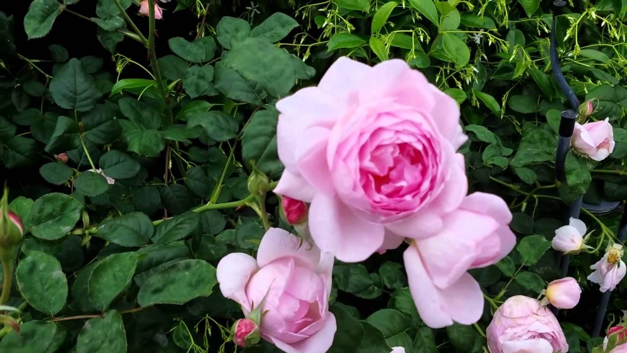 David Austin English Roses In The Garden Growth Habit