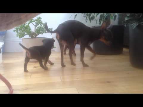 Russian Toy Terrier Puppies 5 weeks old today
