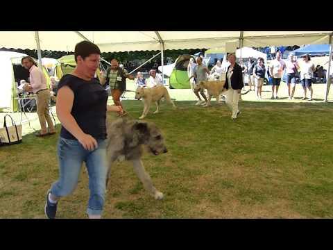 Dogs Open class Irish Wolfhound Int Dog Show Ludwigshafen