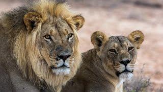 *Захватывающее и Интересное видео* Невероятная битва львов и крокодила!
