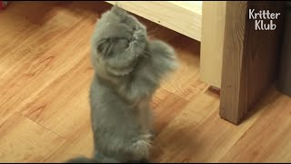 Super Shy Cat Clapping To Get Attention From Owner Is Actually Two-Faced | Kritter Klub