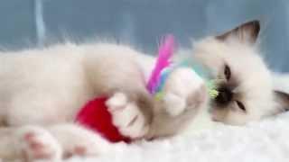Emil (питомник кошек marikota.com)