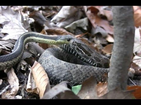 Garter Snake Slithers into RATTLESNAKE! (SnakeHuntersTV)