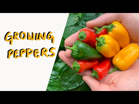 Hydroponic Peppers from Seed to Harvest – Grow Indoors Year Round