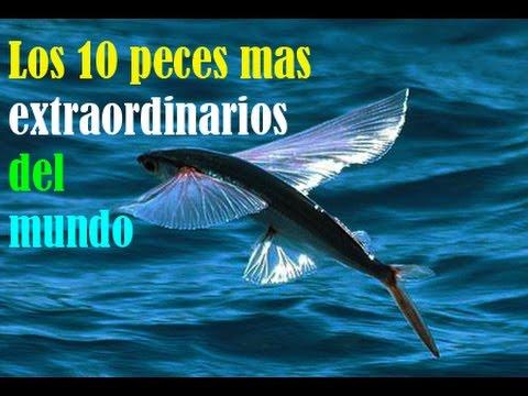 Los 10 peces mas extraordinarios del mundo youtube - Los peces mas bonitos del mundo ...