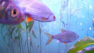Płocie - ryby na żywo w Jeziorze Solińskim w Bieszczadach